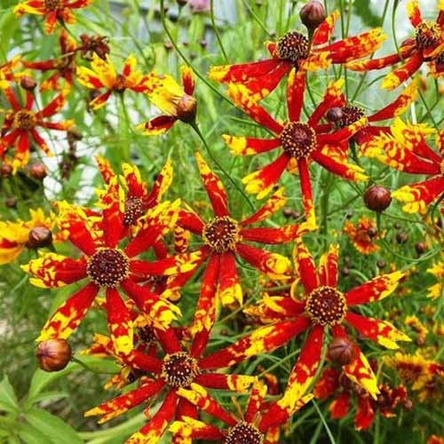 A close up square image of 'Radiana Tigrina' bicolored red and yellow flowers growing in the garden.