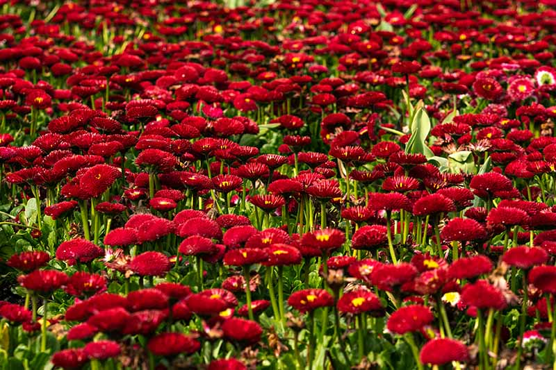 A close up horizontal image of Bellis perennis 'Bellissima Red' growing in the garden.