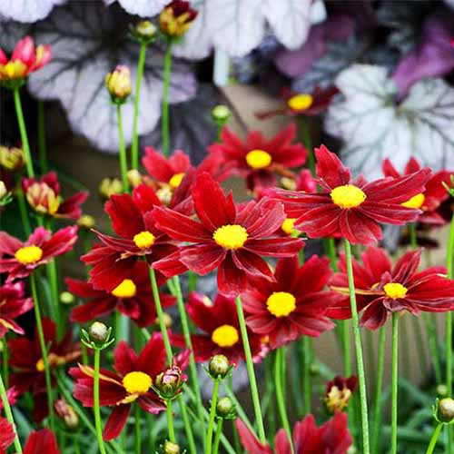 A close up square image of 'Red Elf' flowers with red petals and yellow centers pictured on a soft focus background.