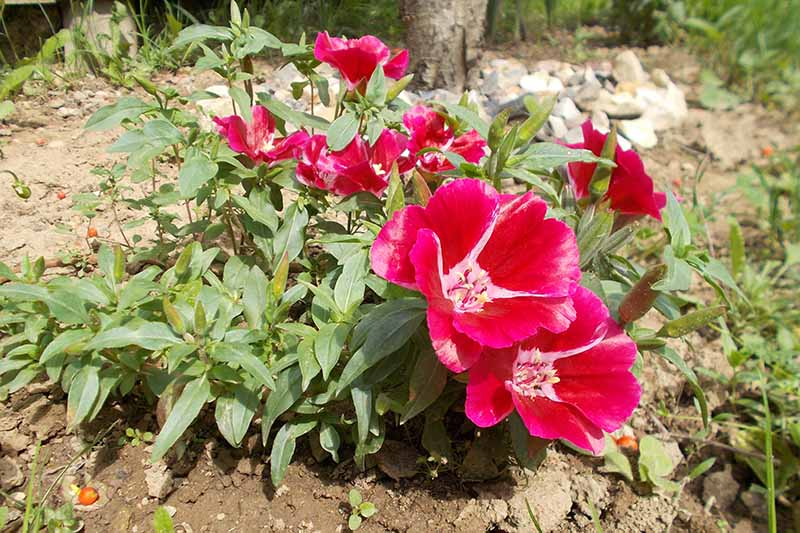 A close up horizontal image of red and pink satin flowers (Clarkia amoena) growing at the side of a woodland.