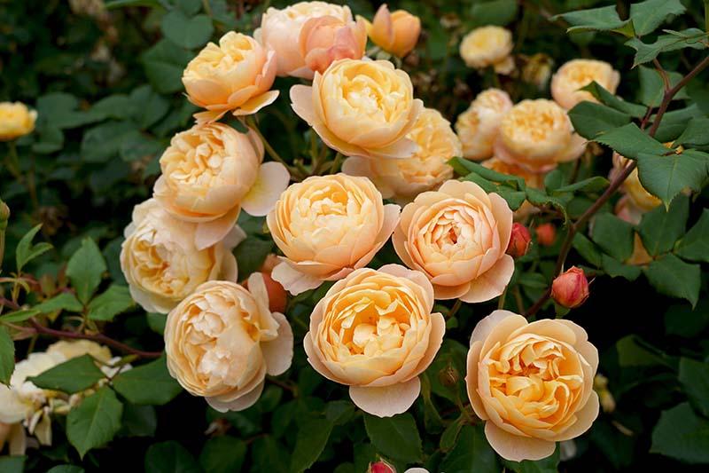 A close up horizontal image of orange 'Roald Dahl' flowers growing in the garden.