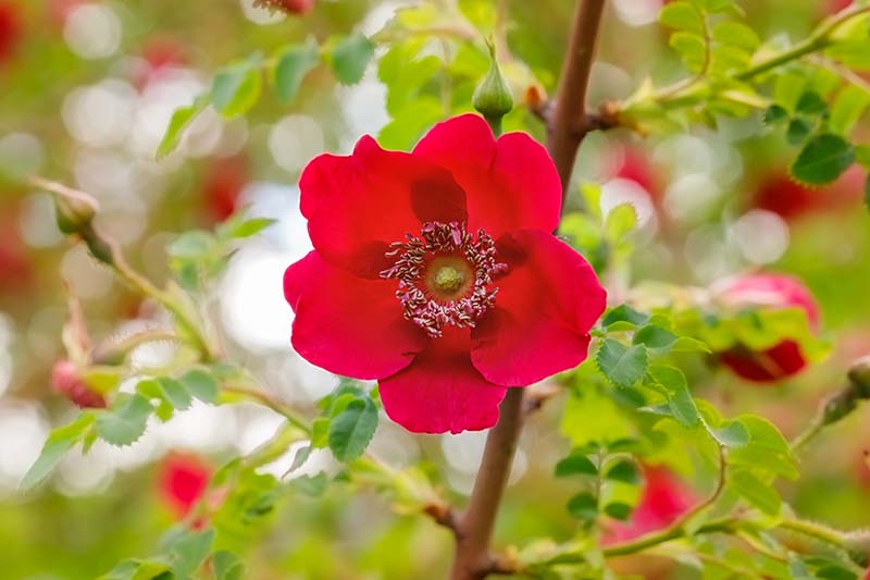 A close up horizontal image of a Rosa moyesii flower pictured on a soft focus background.