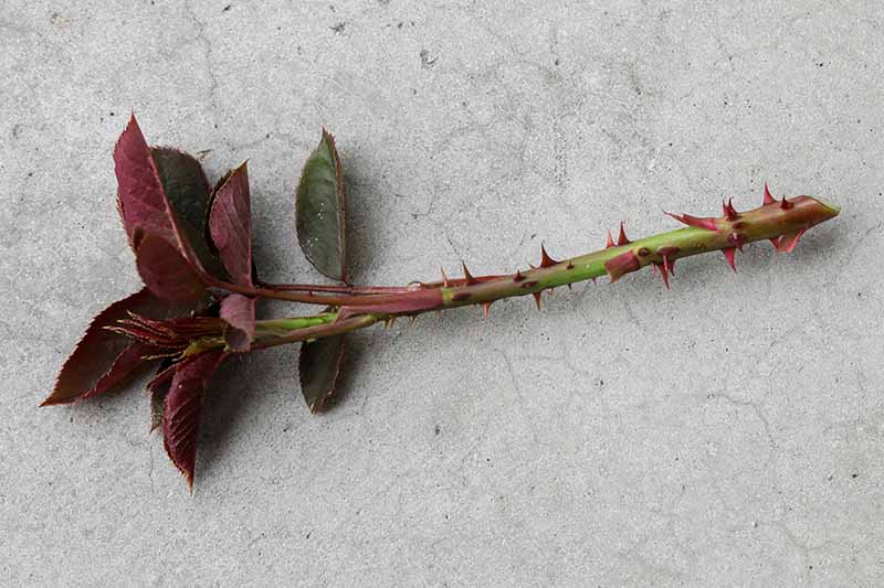 A close up horizontal image of a stem cutting taken from a rose bush for propagation set on a concrete surface.