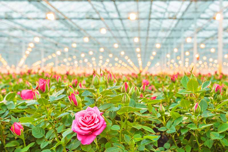 A horizontal image of a large commercial greenhouse growing potted rose shrubs.