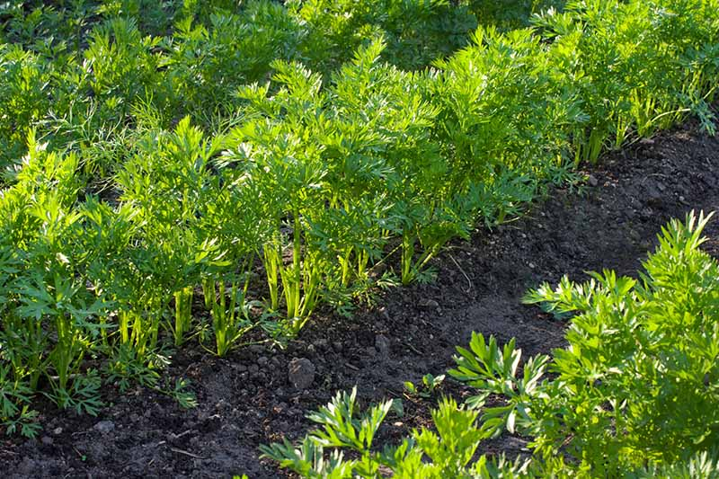 A close up horizontal image of rows of 'Chantenay' carrots growing in the garden.