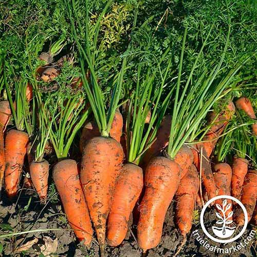 A close up square image of a pile of freshly harvested 'Royal Chantenay' carrots in a pile with tops still attached. To the bottom right of the frame is a white circular logo with text.