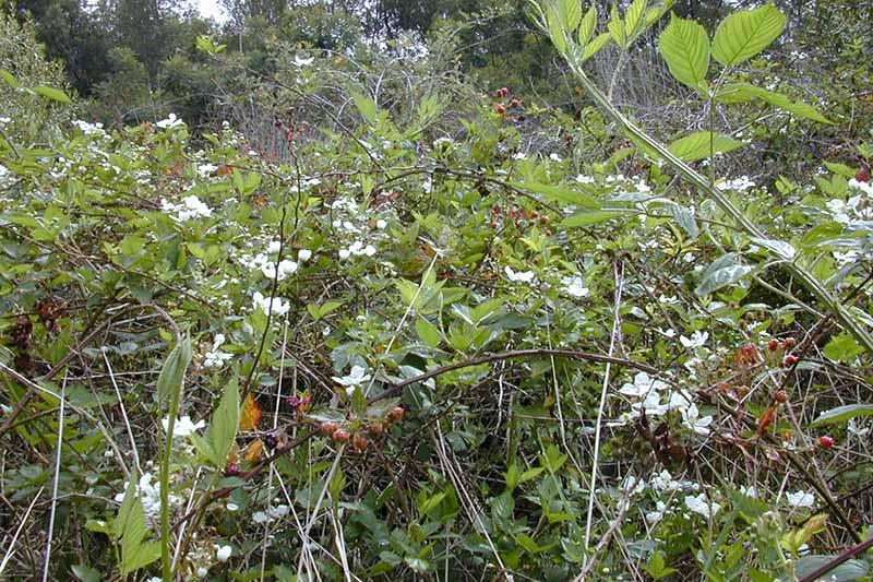 A close up horizontal image of Rubus argutus growing wild.