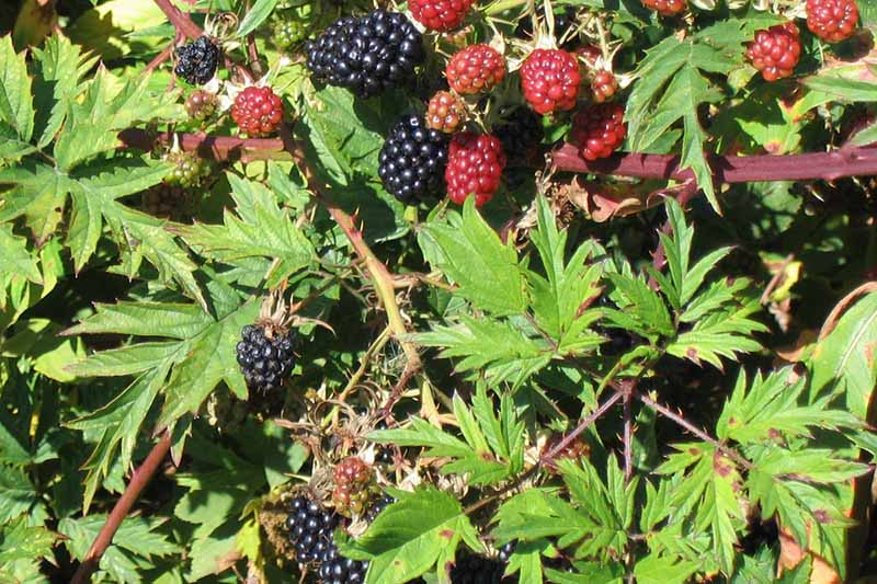 A close up horizontal image of the foliage and fruits of Rubus lacinatus pictured in bright sunshine.