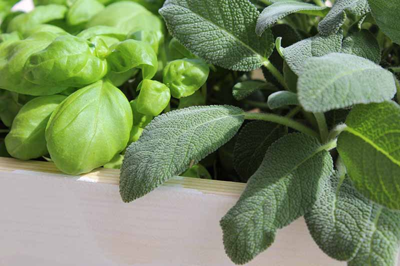 A close up horizontal image of the herbs basil and sage growing in a wooden planter pictured in light sunshine.