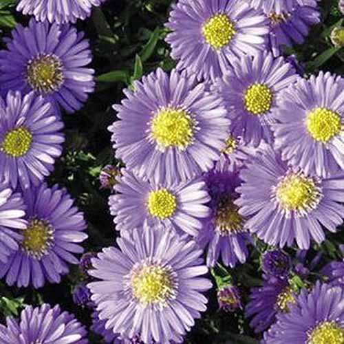A close up square image of light purple flowers of 'Sapphire' asters growing in the garden.