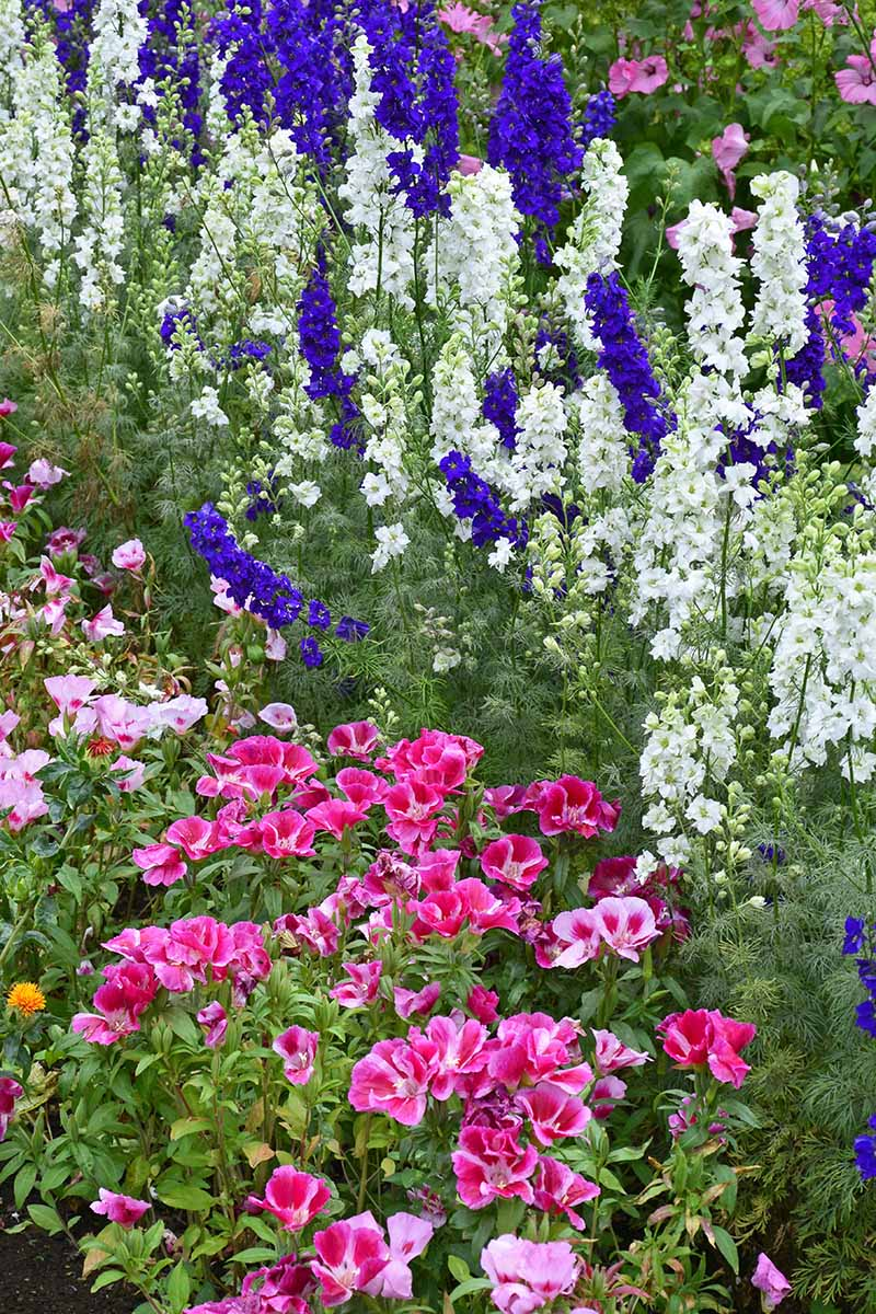 A close up vertical image of a garden border planted with pink and white satin flowers (Clarkia amoena) and blue and white delphiniums.