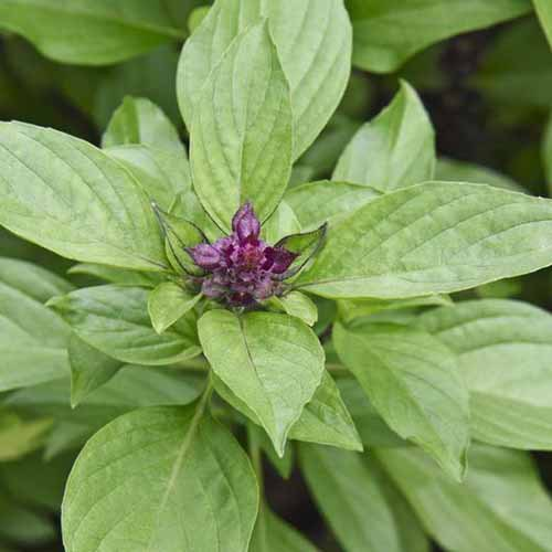 A close up square image of Ocimum basilicum var. thyrsiflora 'Siam Queen' growing in the garden.