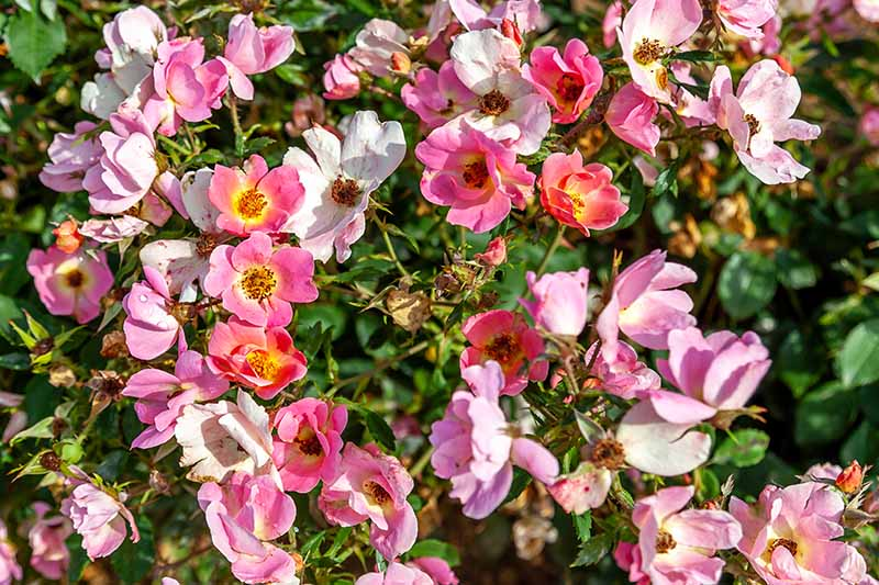 A close up horizontal image of single petaled Knock Out roses growing in the garden pictured in bright sunshine.