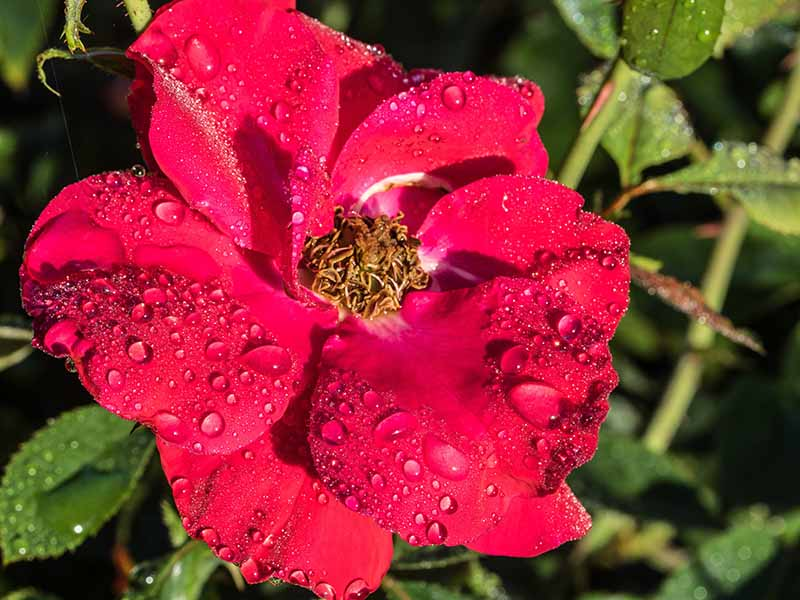A close up horizontal image of a red shrub rose covered in droplets of water.