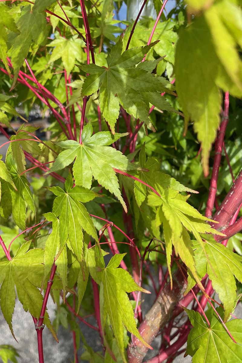 A close up vertical image of the red stems and green leaves of Acer palmatum 'Sango-kaku' growing in a pot indoors.