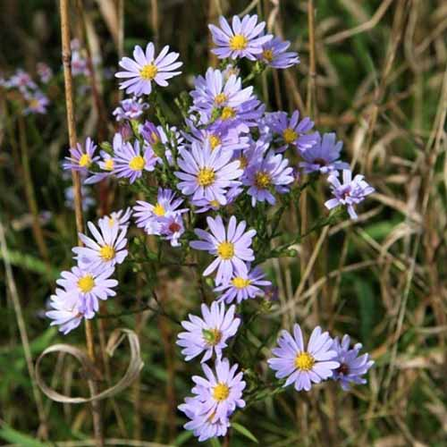 A close up square image of sky blue asters growing in the garden pictured on a soft focus background.