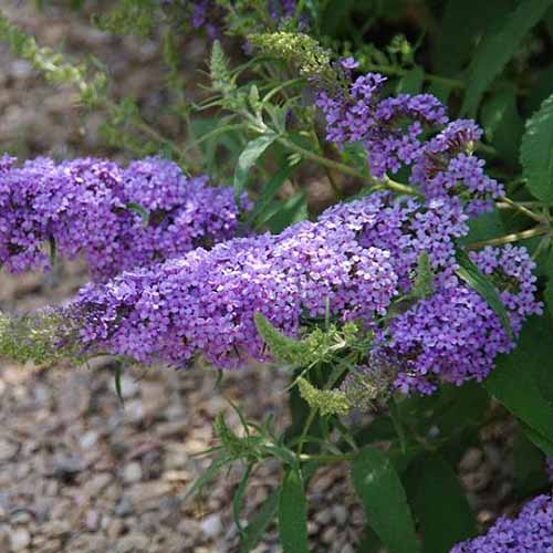 A close up square image of Buddleia 'Sky Blue' flowers pictured on a soft focus background.