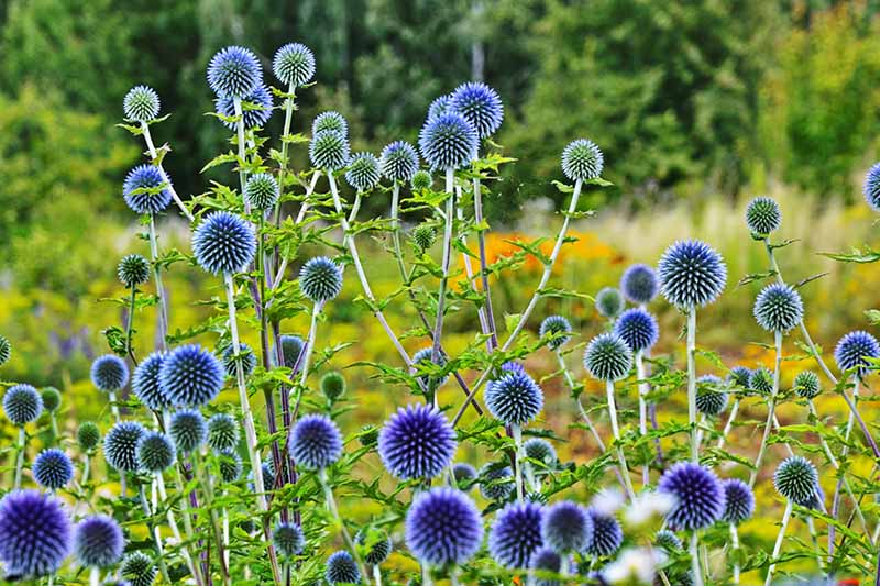 A horizontal image of Echinops ritro growing in a wildflower meadow.