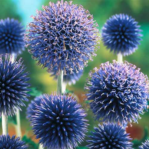 A close up square image of the bright blue flowers of small globe thistle (Echinops ritro) pictured on a soft focus background.