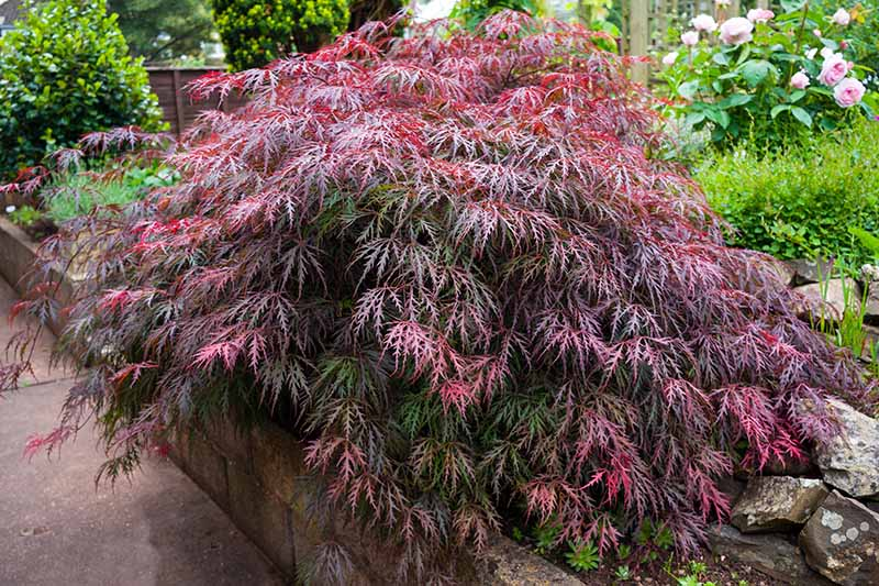 A close up horizontal image of a small Japanese maple tree growing in a stone planter with roses and other shrubs in the background.