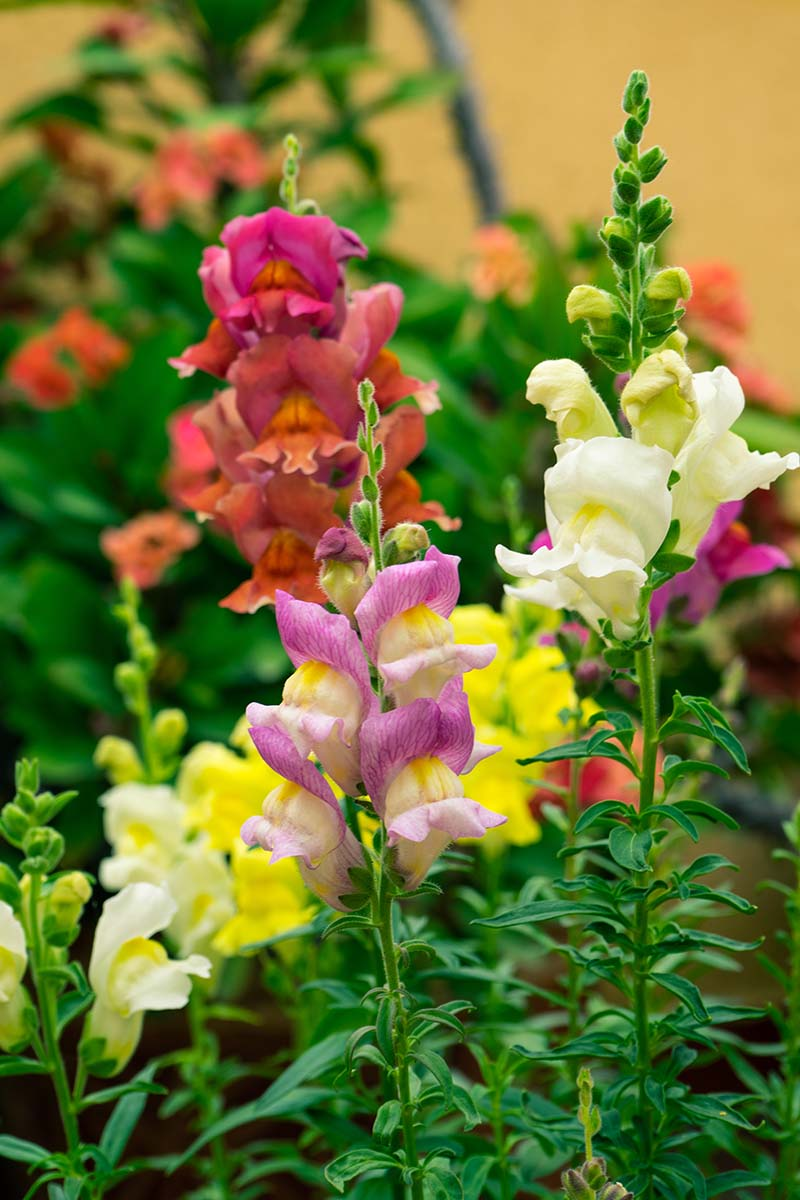 A close up vertical image of colorful snapdragon flowers (Antirrhinum majus) growing in the garden.