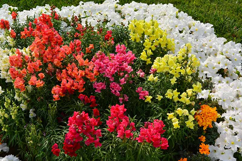 A close up horizontal image of brightly colored snapdragon (Antirrhinum majus) flowers growing in a garden border.