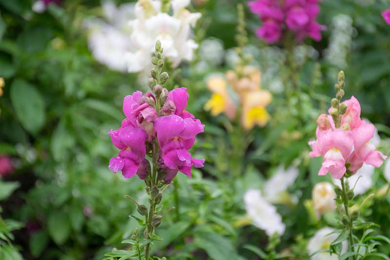 A close up horizontal image of purple and peach colored snapdragon flowers growing in the garden pictured on a soft focus background.