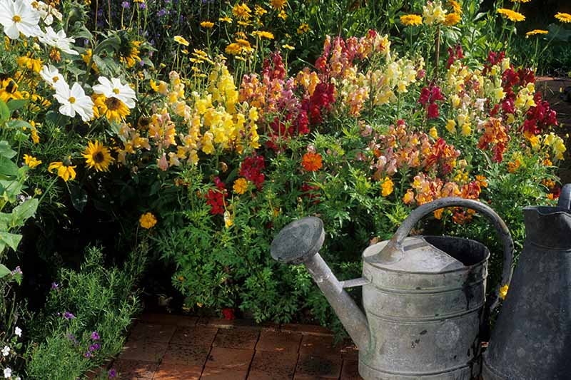 A close up horizontal image of a garden border next to a tiled patio with colorful Antirrhinum majus flowers in full bloom. To the right of the frame is a metal watering can.