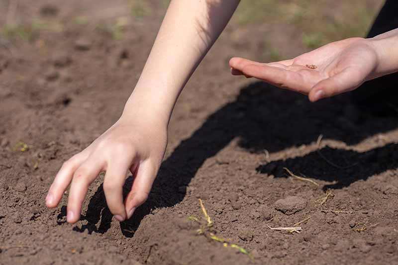 A close up horizontal image of a young gardener planting seeds in the garden.