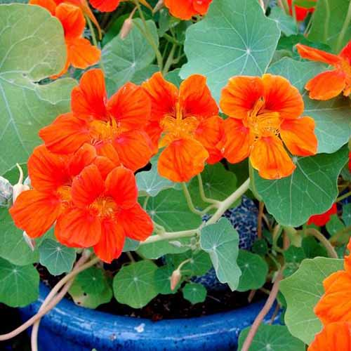 A close up square image of bright red Tropaeolum 'Spitfire' flowers growing in a blue ceramic pot.