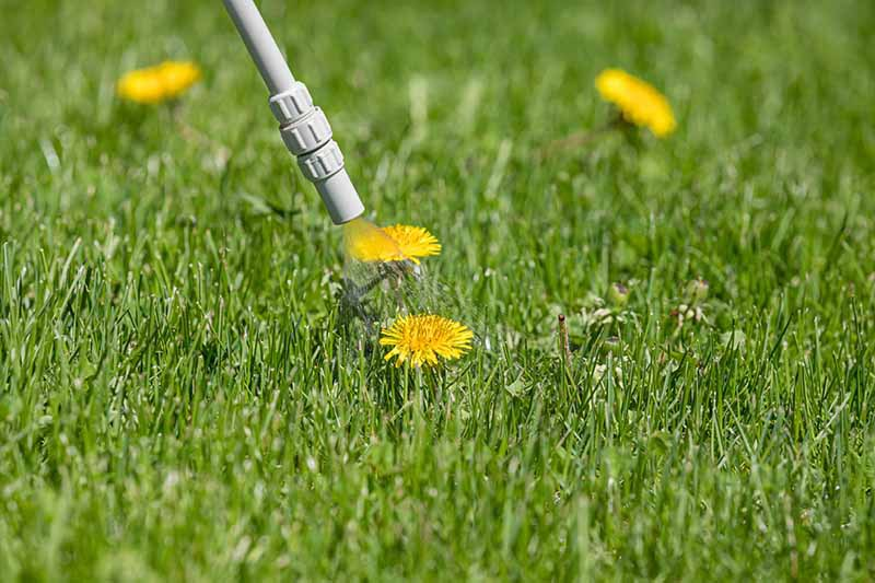 A close up horizontal image of a nozzle spraying chemical weedkiller onto a bright yellow dandelion growing in a lawn.