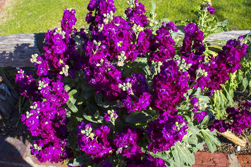 A close up horizontal image of deep purple Matthiola incana flowers growing in a planter in the garden.