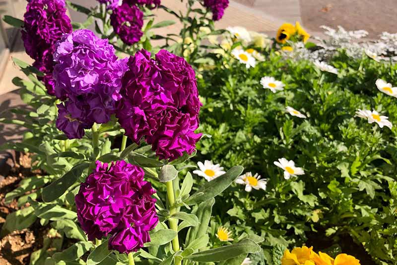 A close up horizontal image of colorful stock flowers growing in a mixed planting in bright sunshine.