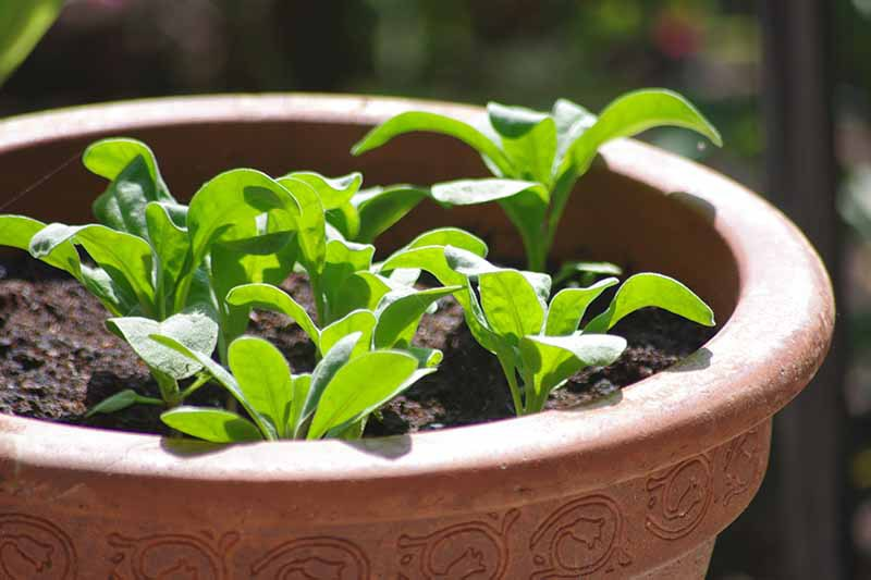 A close up horizontal image of stock (Matthiola incana) seedlings growing in a terra cotta pot in a sunny location pictured on a soft focus background.