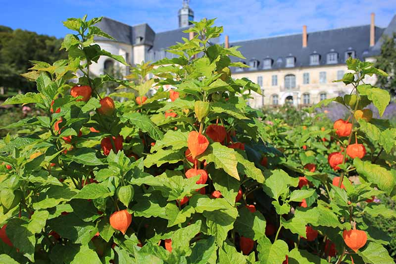 A close up horizontal image of a Chinese lantern shrub growing outside a large residence on a blue sky background.