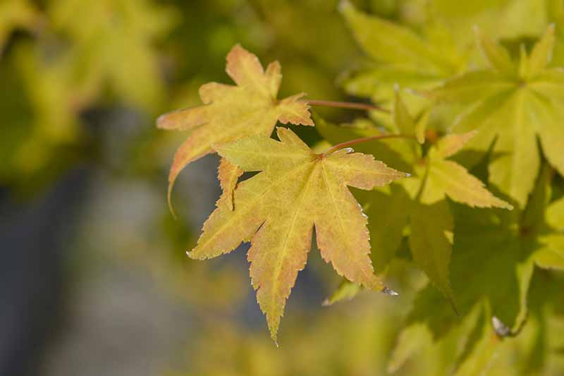 A close up horizontal image of the golden foliage of an aureum Acer palmatum growing in the garden.