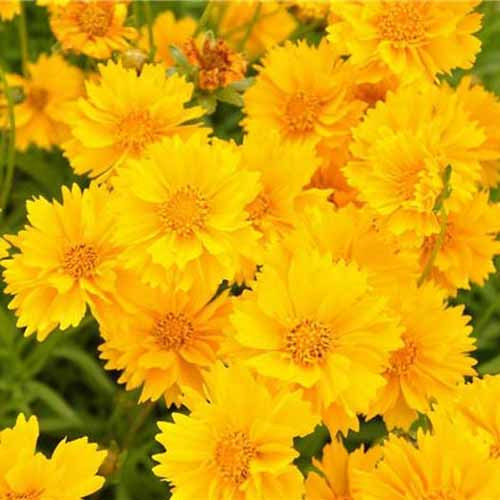 A close up square image of a mass of bright yellow 'Sunburst' flowers growing in the garden.
