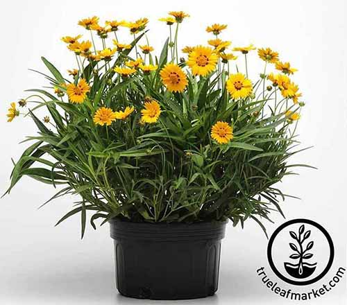 A close up square image of a black plastic pot with yellow 'Sunfire' flowers isolated on a white background. To the bottom right of the frame is a black circular logo with text.