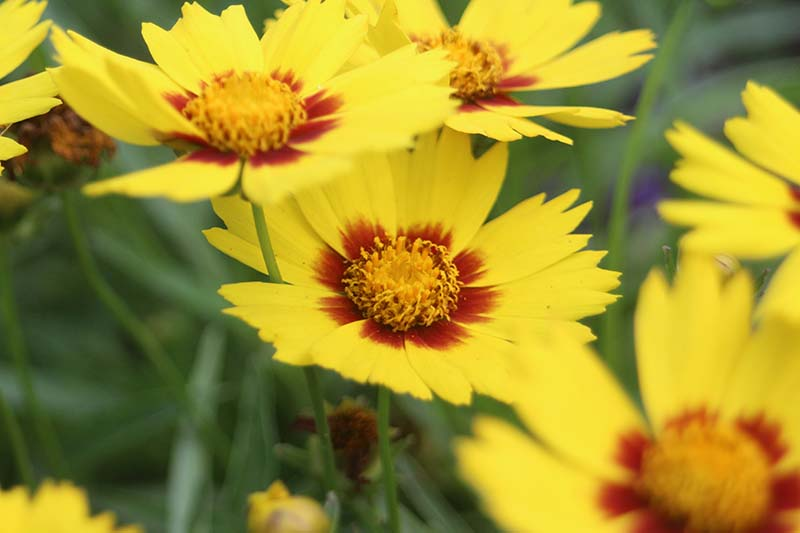 A close up horizontal image of bicolored 'Sunkiss' coreopsis flowers growing in the garden pictured on a soft focus background.