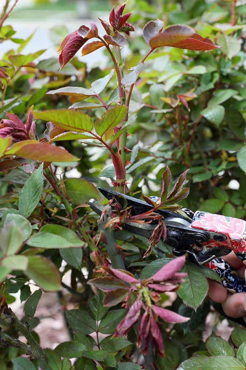 A close up vertical image of a hand holding a pair of pruners snipping a stem off a rose bush pictured on a soft focus background.