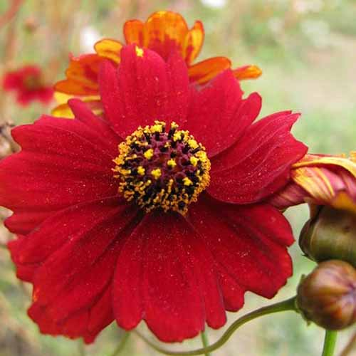A close up square image of a 'Tall Red' coreopsis flower growing in the garden isolated on a soft focus background.