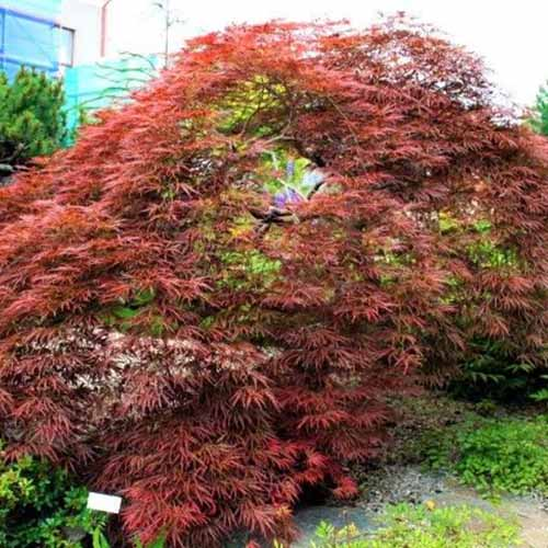 A close up square image of a Japanese maple tree with bright red foliage growing in the garden.