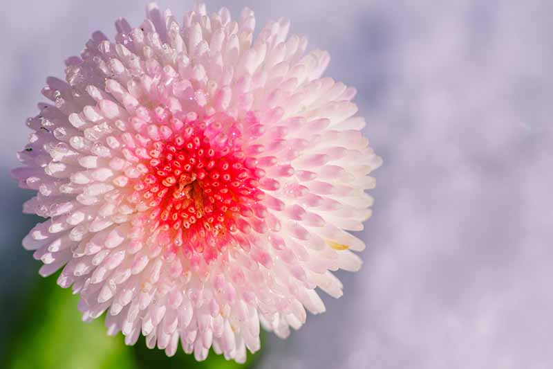 A close up horizontal image of Bellis perennis Tasso 'Strawberries and Cream' pictured on a soft focus background.