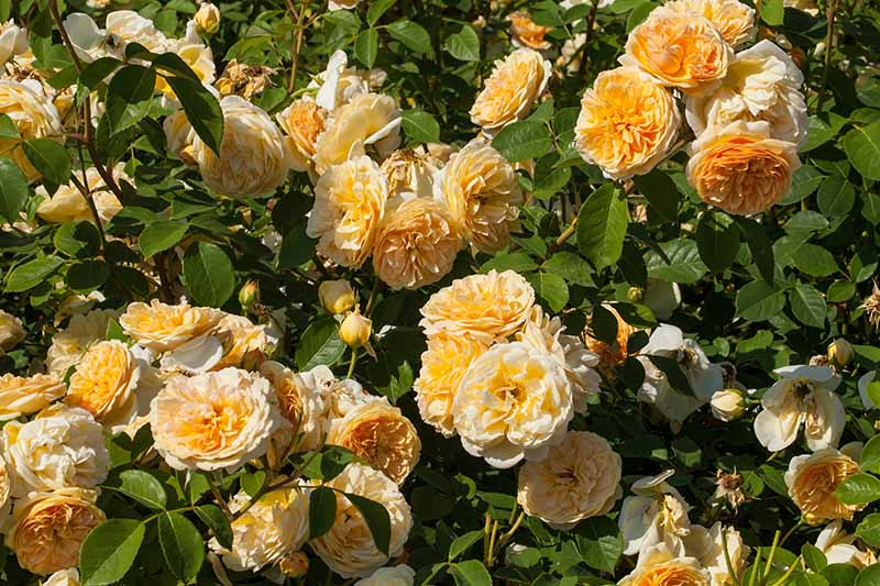 A close up horizontal image of bright yellow 'Teasing Georgia' roses growing in the garden pictured in bright sunshine.
