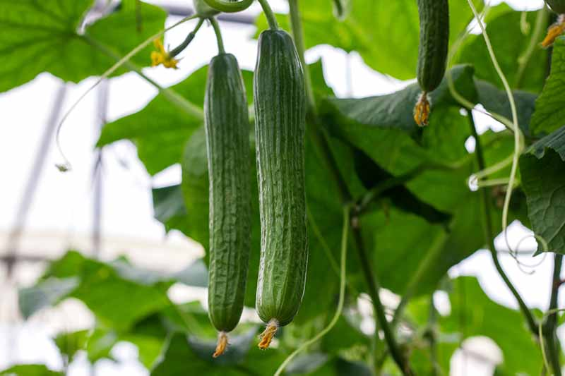 A close up horizontal image of 'Telegraph' cucumbers growing in a large greenhouse, ready for harvest.