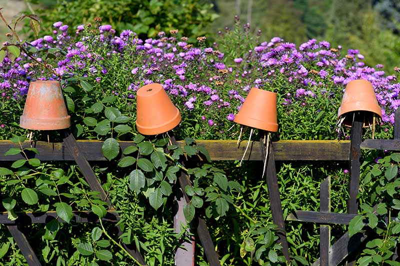 A close up horizontal image of upturned terra cotta pots on an old wooden fence with purple asters in the background.