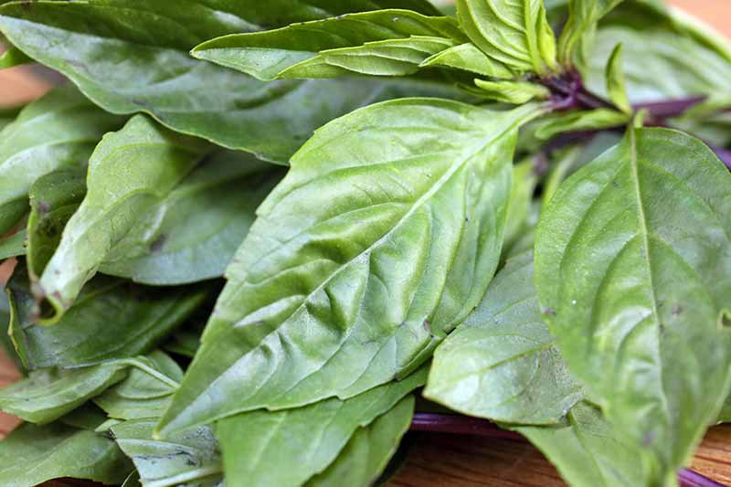 A close up horizontal image of the leaves of freshly harvested Thai basil set on a wooden surface.