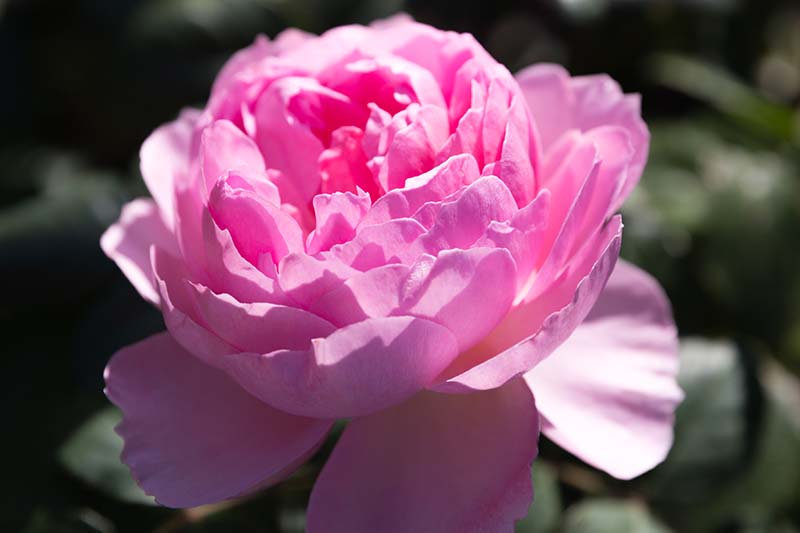 A close up horizontal image of a bright pink 'The Ancient Mariner' rose pictured in light sunshine on a soft focus background.