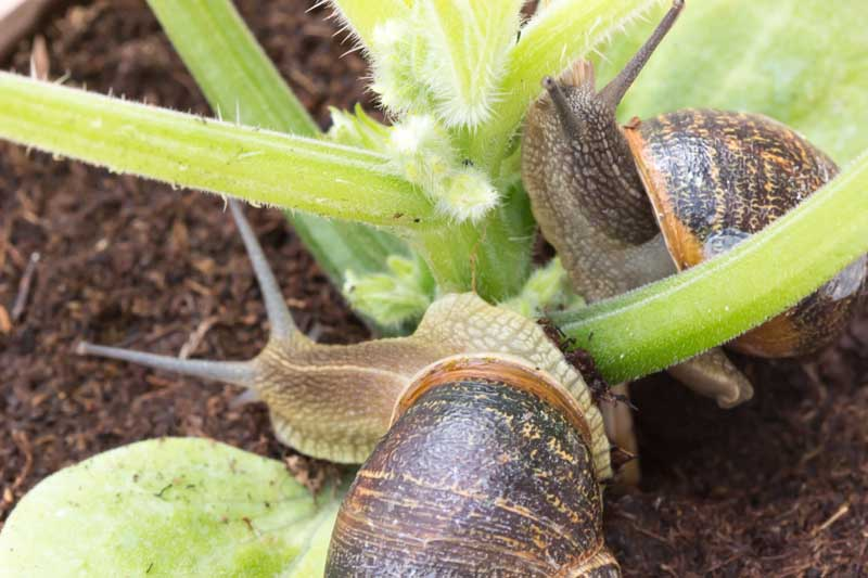 A close up horizontal image of two snails climbing on squash plants.