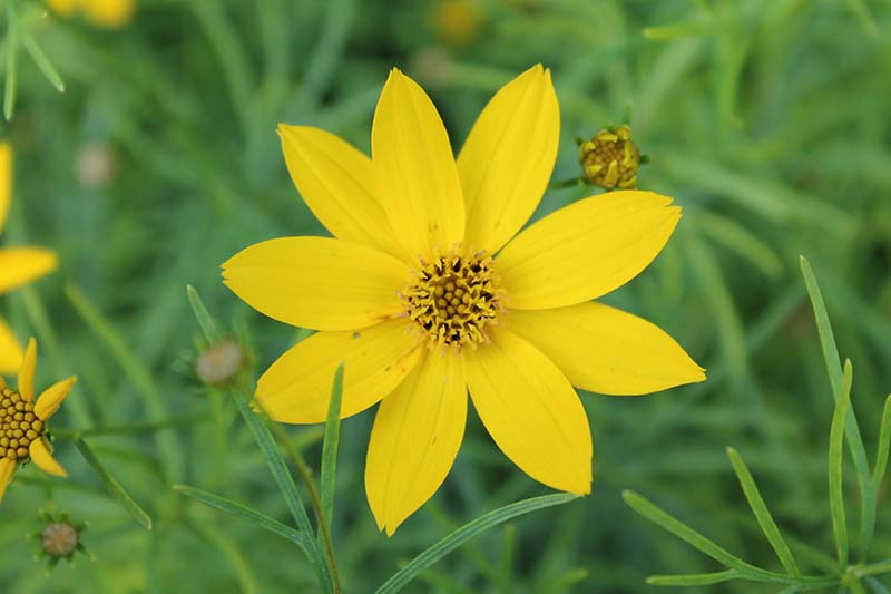 A close up horizontal image of a bright yellow threadleaf coreopsis flower with foliage in soft focus in the background.